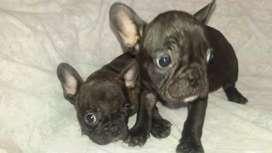 Cachorros vacunados y desparasitados