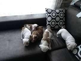 ful calidad bulldog ingles