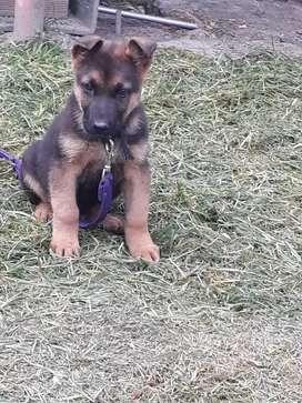 Venta de cachorro pastor alemán