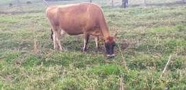 Novillas y vacas