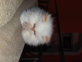 Vendo gata persa pelo largo y gato persa pelo corto.