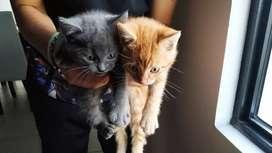 Gatitos en adopción  mes y medio