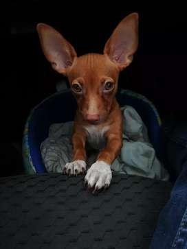 Mi perro Chihuahua busca hembra para monta