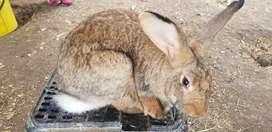Reproductores conejo Holandes, Nueva Zelanda, Ruso californiano, chinchilla