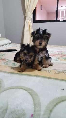 Cachorro  jorkis