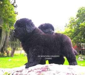 Cachorros Terranova. de Montaña C C