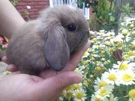 Conejos Holland Lop enanos