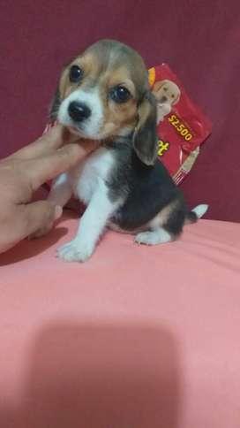 Tu Ideal.amigo Beagle Forte