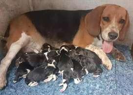 Divertidos beagles enanos
