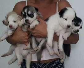 Venta de cachorros lobo siberiano