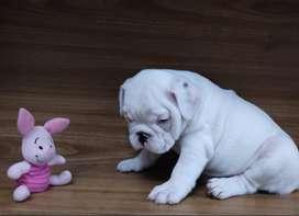 Bulldog ingles macho disponible