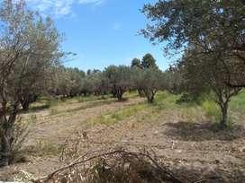 casa , olivos y terreno inculto