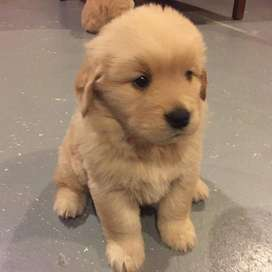 DISPONIBLES NUEVAMENTE GOLDEN RETRIEVER DE 54 DIAS DE NACIDOS