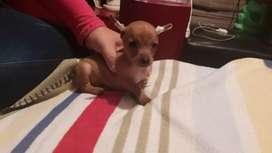 Hermoso perrito pincher mini de 1 mes ymedio desparacitado
