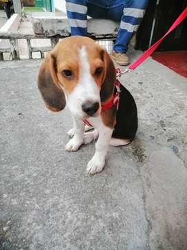 Cachorro beagle tricolor tres meses