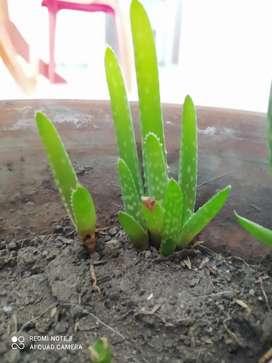 Plantas de sábila a mil pesos