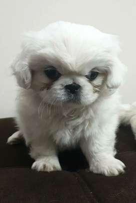 Precioso Cachorro Shitzu