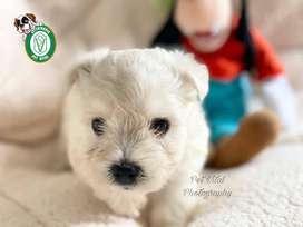 Cachorros westy,westie,west highland terrier , west en Pet Vital