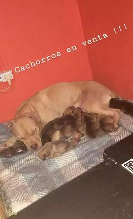 CACHORROS PITBULLS RED NOSE , PUROS