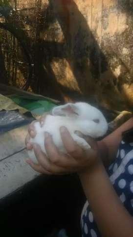 Vendo conejitos machito