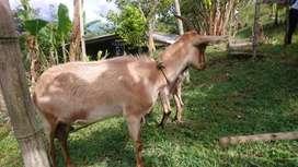 cabras buena genetica
