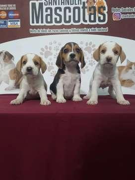 Poderosos cachorros de raza beagle
