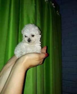 Caniche miniitoy blanco