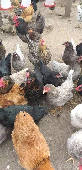 Gallinas pollas criollas campesinas de huevos azules y verdes de 20 semanas con todo el protocolo de vacunacion bogota