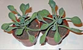planta senecio kleiniiformis maceta 8
