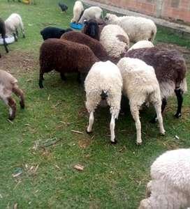 Venta de Ovejas y Corderos