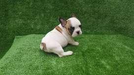 Hermosa mini bulldog francés blanca con rojo