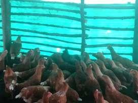 Desecho de gallina