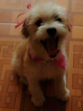 cachorrita cruce French poodle shitzu 10 meses , tierna noble y muy cariñosa, convive  bien con perros, gatos y niños.