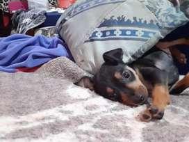 Se vende cachorra doberman pinscher mediana