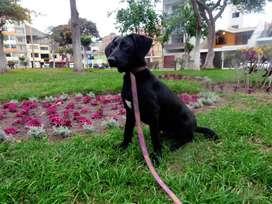 SKULL, perrito labrador negro en adopción