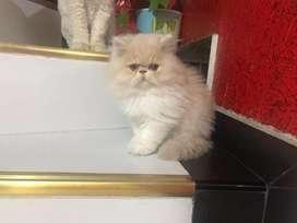 Gato persa color beige
