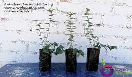 Plantas de arandano Cajamarca