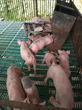 Lechones cerdos