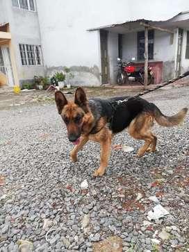 Busca perro pastor alemán para monta