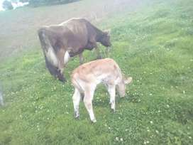 Vendo novillas y vacas proximas