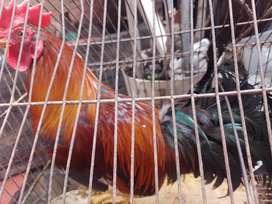 Se vende gallo