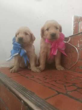 Puppy golden dogspets