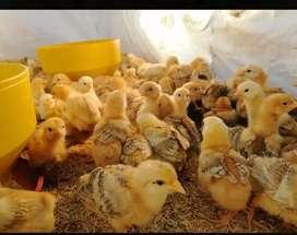 Vendo pollitos criollos
