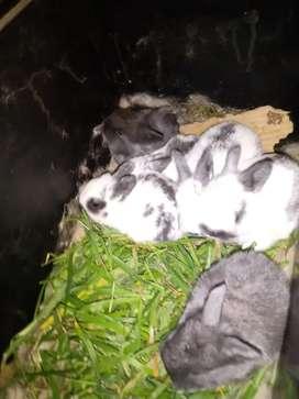 Conejos orejas caídas