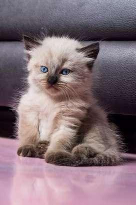 Hermoso Gato Persa himalayo