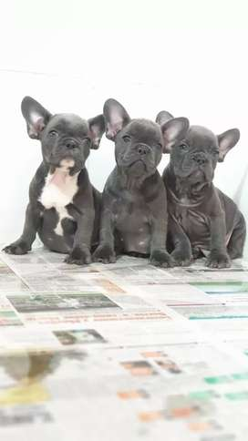 Bulldog Frances blu triple carrier sólidos a la venta puros