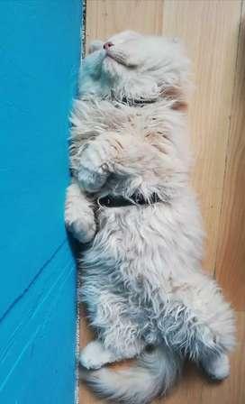 Gato persa busca novia en Manizales