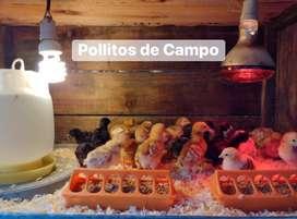 Pollitos de campo
