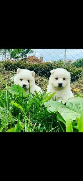 Hermosos Cachorritos Samoyedo