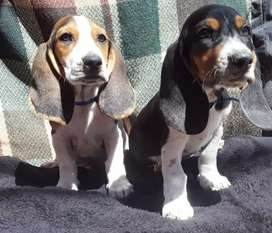 Cachorritos baseth hound